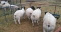 Suppliers of Dorper and Merino lambs
