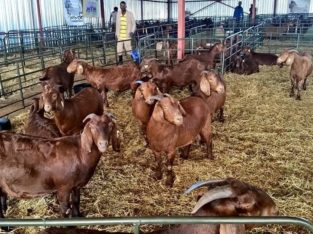 Buy cheap Kalahari goats auction sales