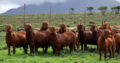 Kalahari and boer goats supplier