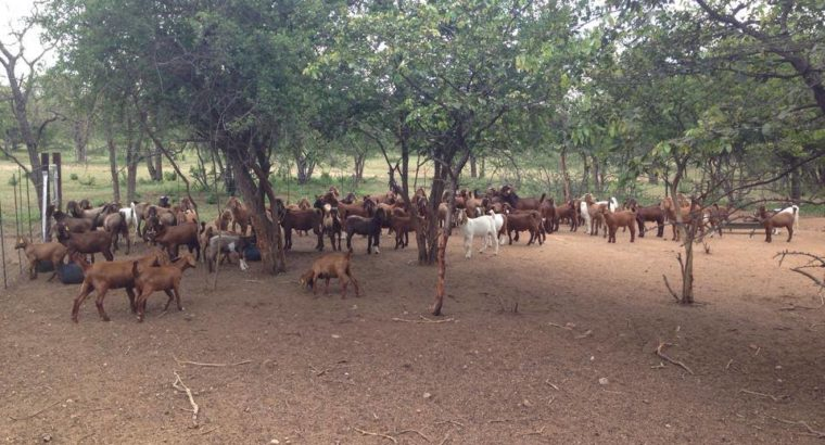 Kalahari Buck and ewes online