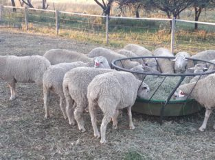 Dorper and Merino Sheep – Whatsapp +27810876009