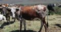 Healthy Nguni and Brahman cattle online