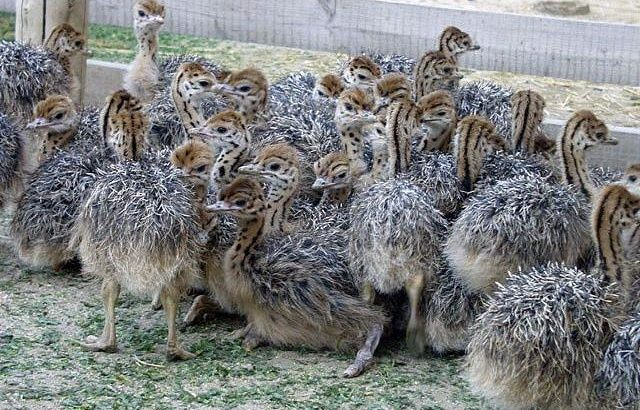 South African black neck Ostrich chicks online
