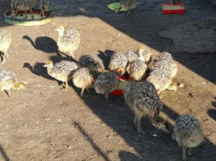 Months old Ostrich chicks and fertile eggs