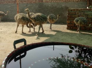 Ostrich chicks and eggs farmers