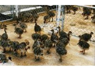 Cheap available Ostrich chicks and fertile eggs