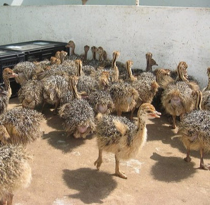 Buy Ostrich chicks and fertile eggs online