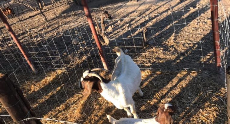 Suppliers of baby and adult Boer goats