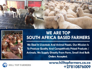 Dairy / Milking Cows – Call/Whatsapp +27810876009