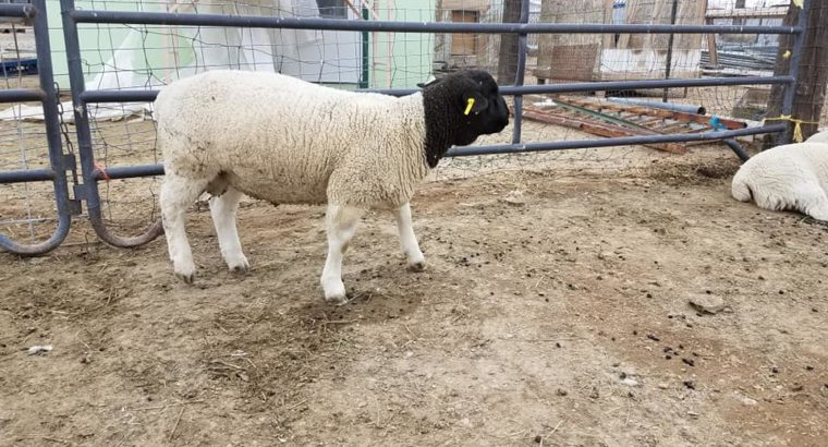 Available purebreed Merino and Dorper lambs