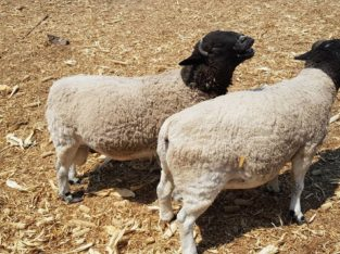 Suppliers of Dorper and Merino sheep online