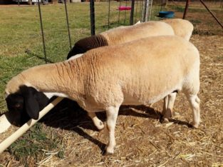 Buy Dorper and Merino lambs online