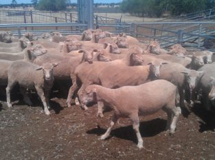 Available lambs for sale online