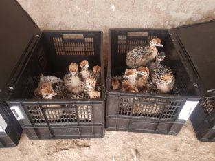 Ostrich Chicks and Eggs – Whatsapp +27810876009
