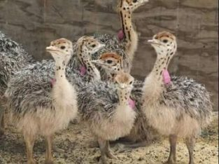 Healthy Ostrich chicks online
