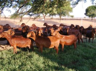 Boer and Kalahari goats online