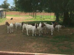cattle and goats for sale