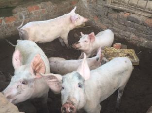 Gilt pigs and piglets for sale
