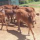 HOLSTEIN CATTLE NGUNI ,ANGUS BULL BONSMARA FOR SAL