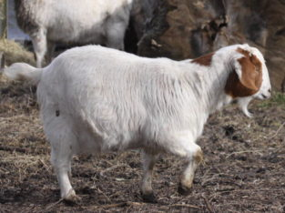 South africa Deliver Full Blood Live Boer Goats