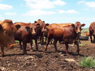 South African Bulls and Heifers suppliers
