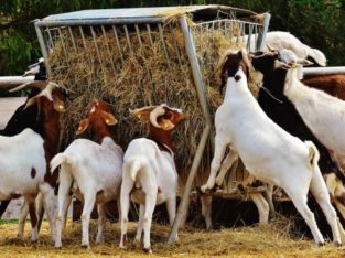 South Africa Live Boer Goats For sale