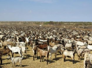 South Africa Live pregnant kalahari and Boer Goats