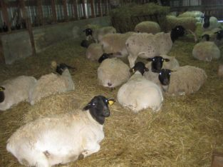 Order dorper and Merino lambs online