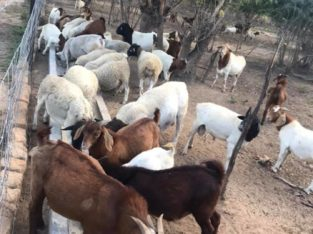 Buy Boer and Kalahari goats online