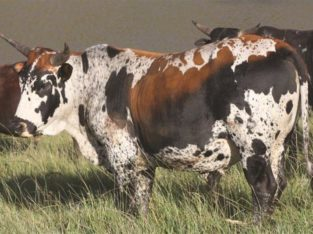 SOUTH AFRICA HOLSTEIN CATTLE NGUNI ,ANGUS BULL BON