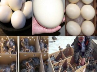 Healthy Ostrich Chicks and fresh Fertile Eggs Here