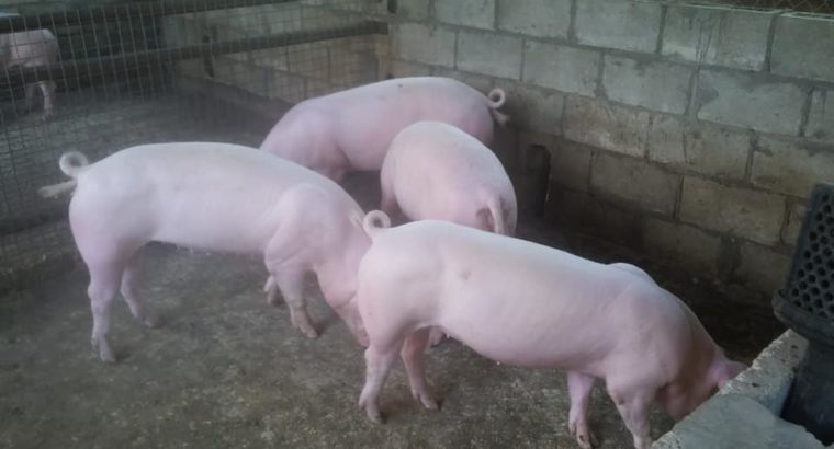 South African gilt pigs and piglets suppliers