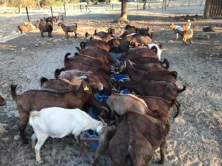 South African Boer goats suppliers