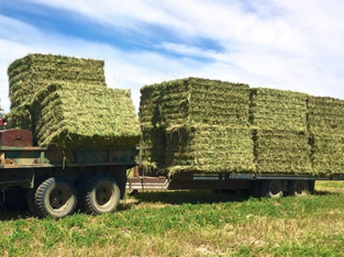 Alfafa Hay for Animal Feeding /alfalfa hay pellets