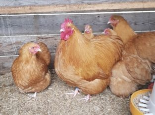 Buff Orpington chickens for sale +27631521991