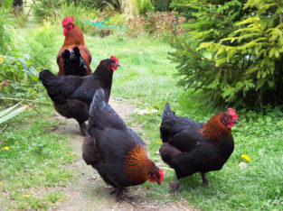 Marans chicken for sale +27631521991