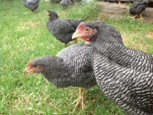 Plymouth Rock chicken for sale watsap +27631521991