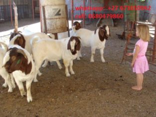 Boer/Kalahari goats (Cows) @ affordable price