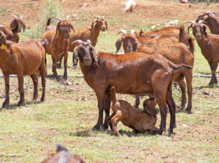 Goats Kalahari red females for sale Livestock