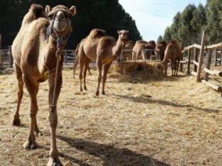 HEALTHY RESSISTABLE OMANI MALE / FEMALE CAMEL WHATSAPP +276324316