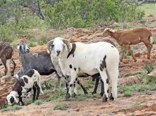 Indigenous sheep and goat breeds list