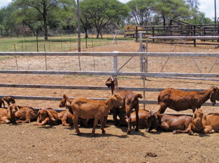 Learn about the Kalahari Red goat breed