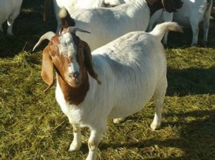 GOATS BOER GOATS AND KALAHARI REDS FOR SALE LIVESTOCK FOR SALE