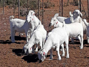 World champion Savanna goat breeder's winning formula
