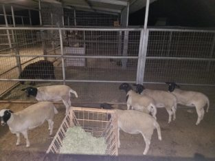 Dorper and Merino Lambs Free State