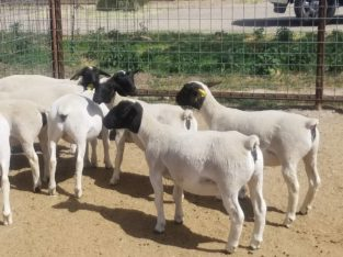 Dorper and Merino Lambs Price