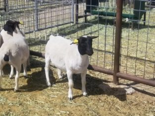 Dorper and Merino Lambs for sale in South Africa