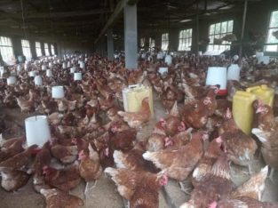 Chicken and fresh chicken eggs Price