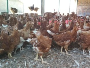 Chicken and fresh chicken eggs North West