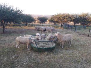 Dorper and Merino Lambs Eastern Cape
